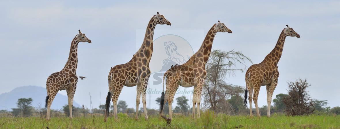 Star Wilderness Safaris, Uganda Safaris, Kenya Wildlife Safaris