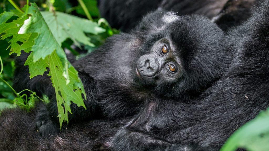 7 Days Uganda Gorilla Tour Rwanda Wildlife Safari