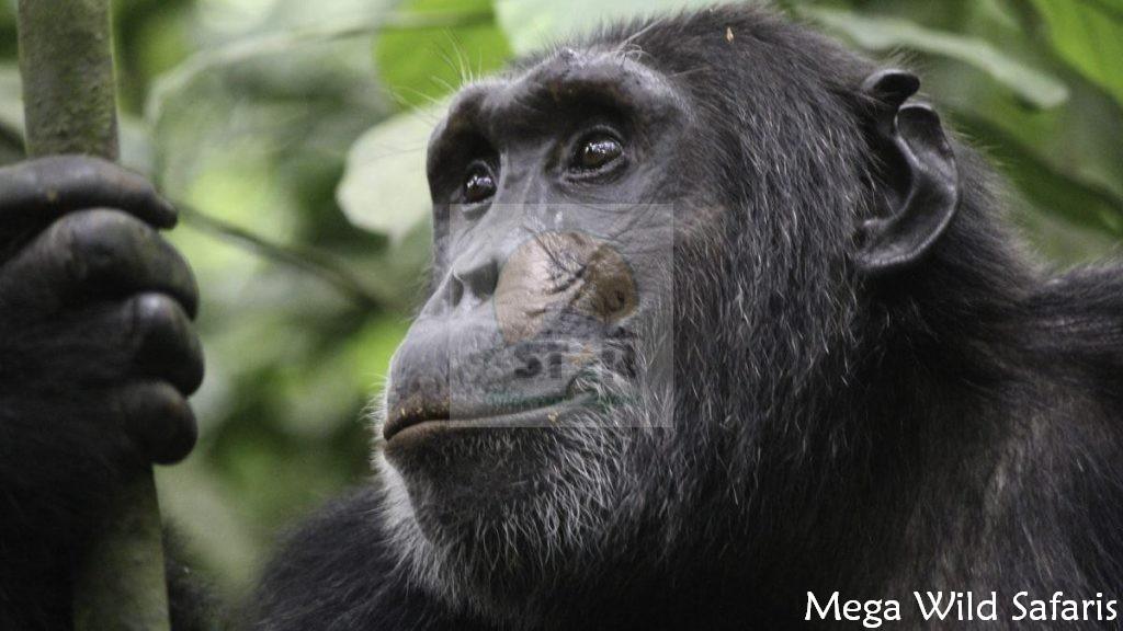 4 Days Primates Tour Uganda Birding Safari