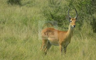 Impalas in Uganda