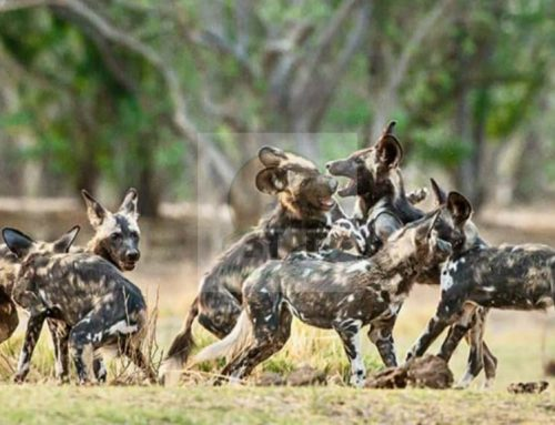Facts about African wild dogs