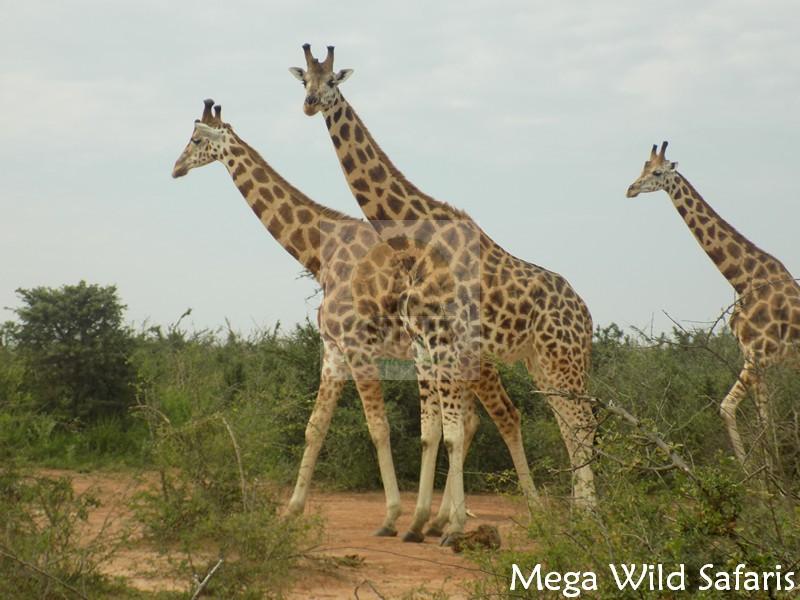 3 Days Wildlife Safari Rwanda Primates Tour